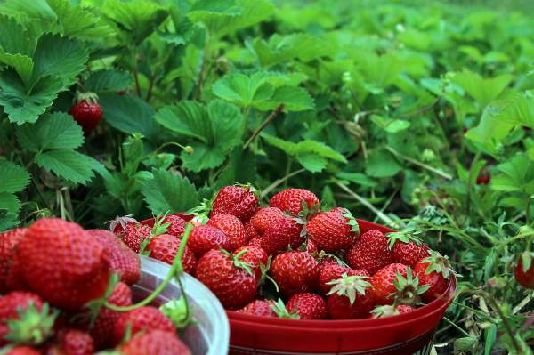 2018-06/strawberries-1467902-1920.jpg